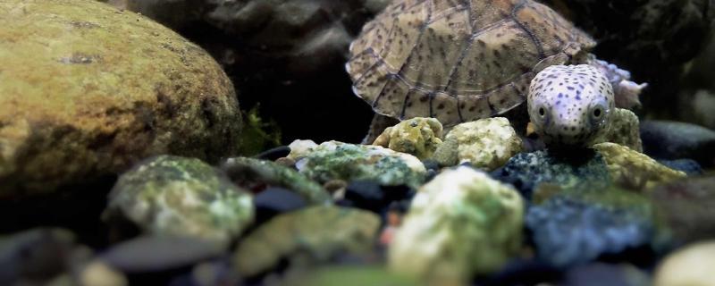 深水蛋龟有哪些品种,哪些深水蛋龟可以养