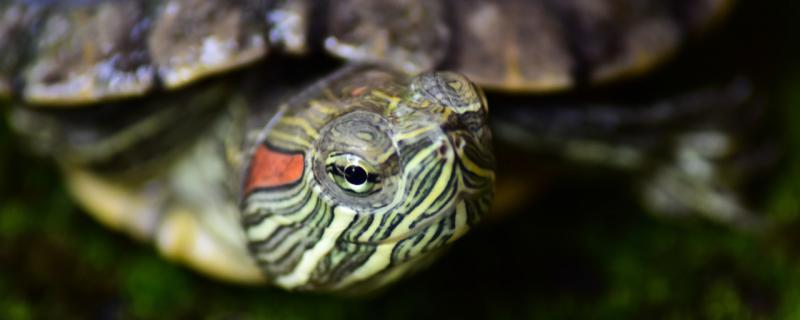 宠物龟能长多大,什么龟的体型大
