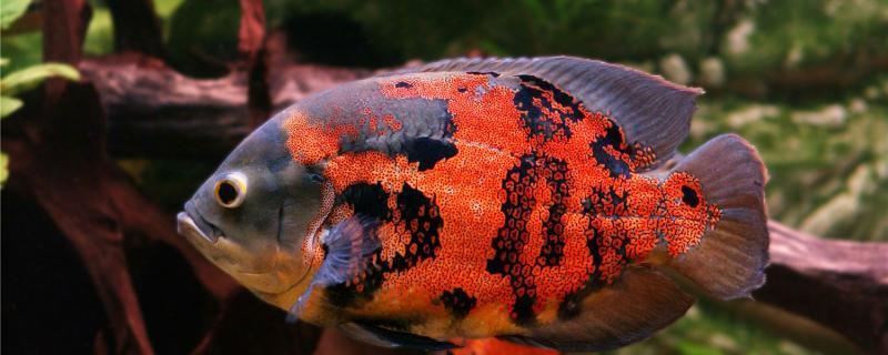 地图鱼和招财鱼能一起养吗,能和什么鱼一起养