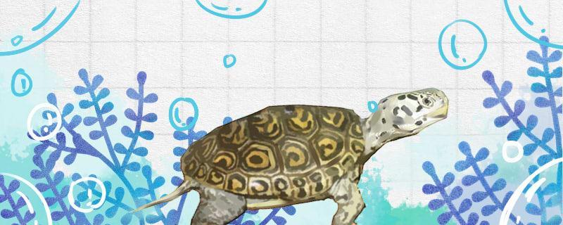 小花钻纹龟是不是保护动物,哪些龟是保护动物