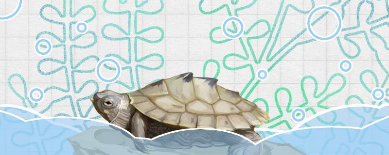 地图乌龟可以长多大,怎么养长得大