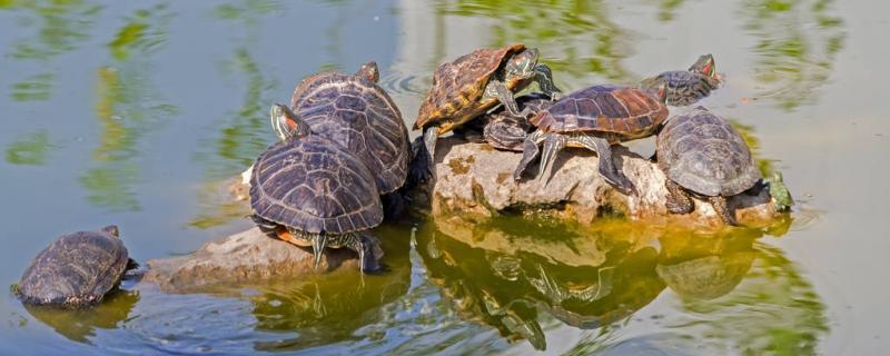 水龟会被淹死吗,龟呛水了怎么办
