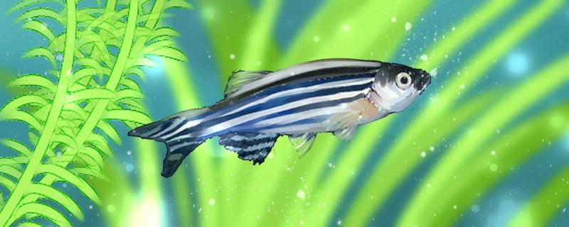 斑马鱼能活多久,能长多大