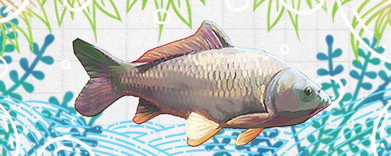 花生米钓鲤鱼好用吗,怎么用