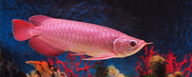 红龙鱼一天开几个小时灯,用什么灯好