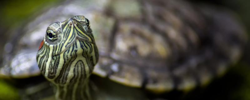 巴西龟用什么水养最好,换水要注意什么