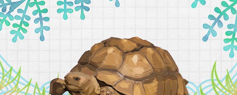 苏卡塔尔陆龟怎么过冬,哪些龟不能冬眠