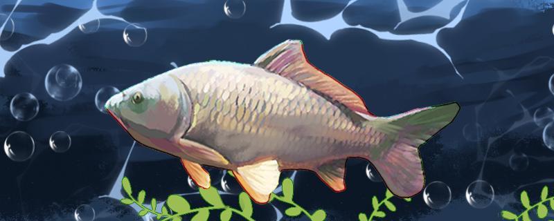 十号伊势尼钓鲤鱼大吗,钓多大的鱼
