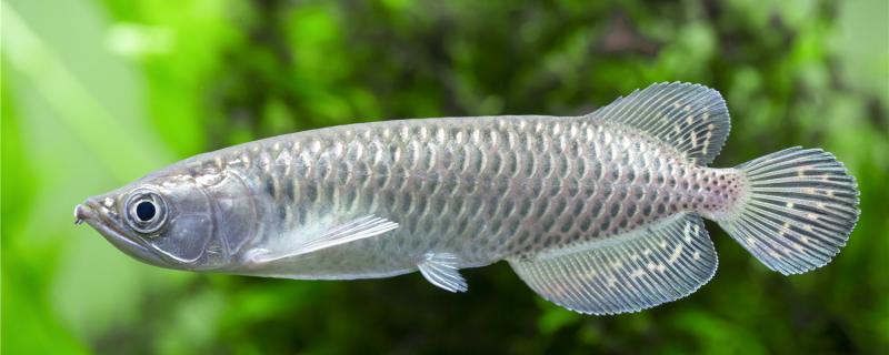 龙鱼可以吃活虾吗,还可以吃什么