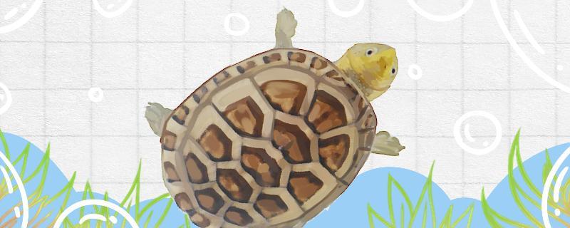 白唇蛋龟能长多大,白唇蛋龟怎么养长得大