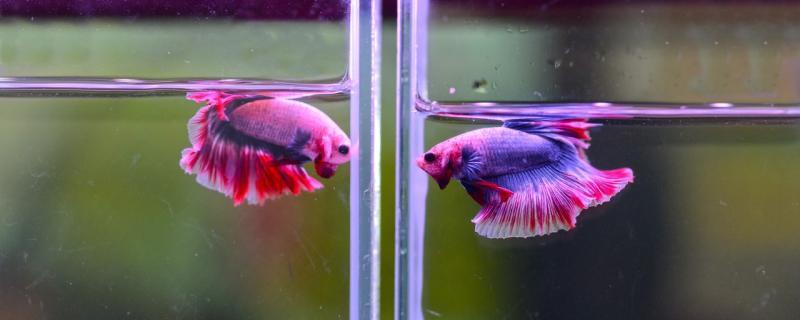 斗鱼不同品种能繁殖吗,怎么繁殖