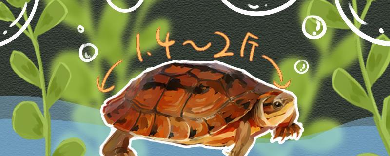 三线闭壳龟怎么养,养三线闭壳龟要注意什么