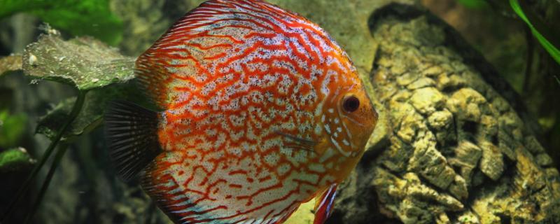 七彩神仙鱼如何进行产卵和孵化?繁殖的成活率高吗