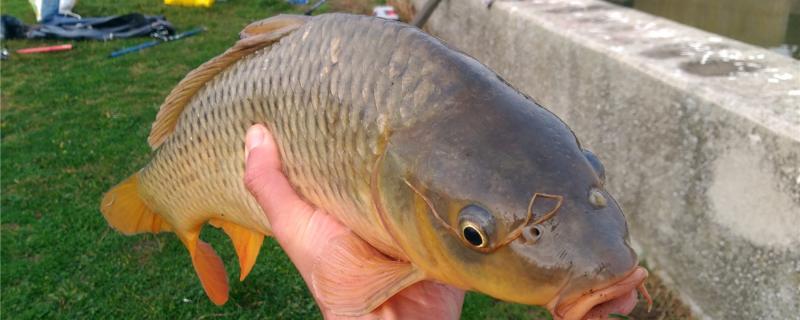 秋冬钓鲤鱼钓多深,用什么饵料好
