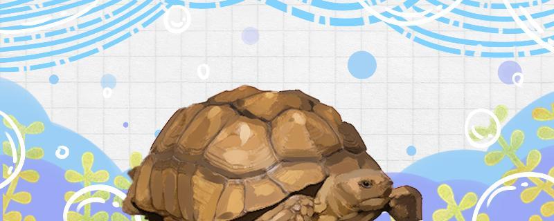 苏卡塔尔陆龟可以养吗,怎么养