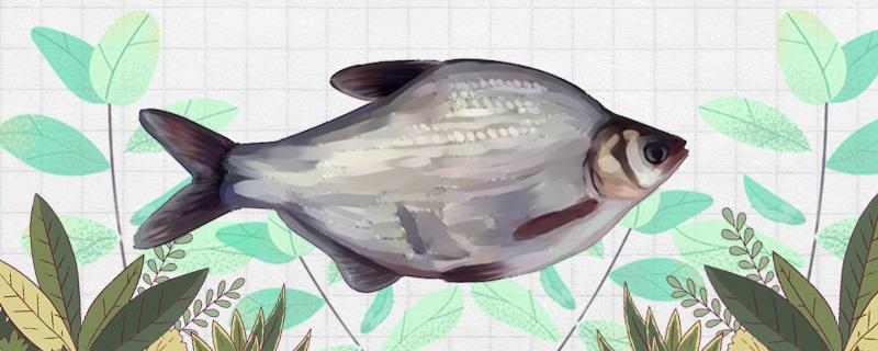 长江水流急能钓鳊鱼吗,如何钓