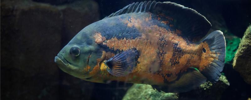 地图鱼可以和龙鱼混养吗,混养需要注意什么