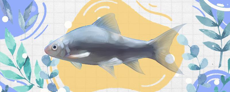 秋季能钓鲮鱼吗,如何钓
