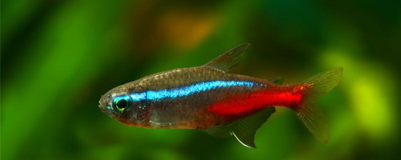红绿灯鱼适合什么水质,水温多少合适