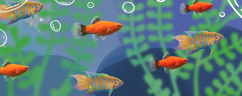养中国斗鱼要注意什么,怎么养好