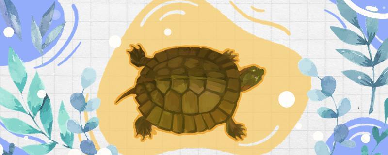 齿缘龟是保护动物吗,什么品种的龟不能养