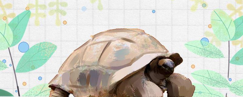 亚达伯拉象龟可以养吗,哪些龟可以养