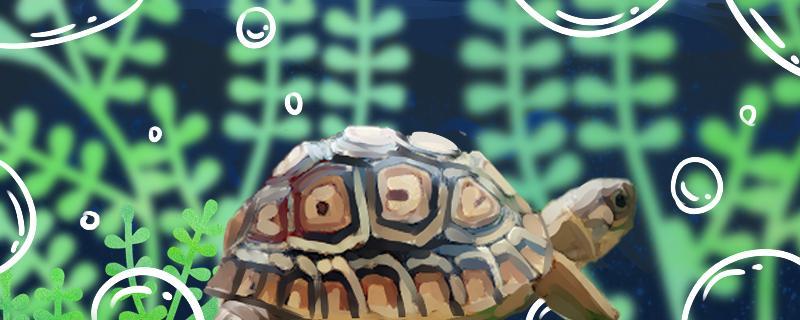 陆龟可以长多大,陆龟喜欢吃什么