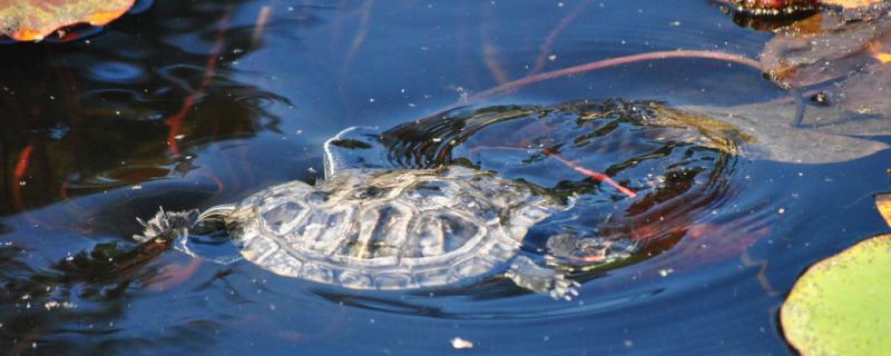 养龟多深的水合适?什么龟可以深水养