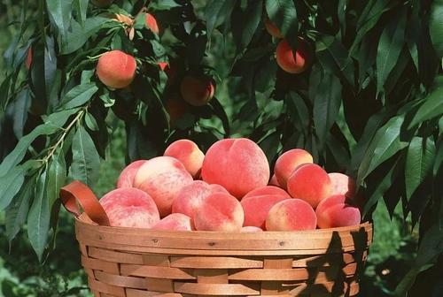 桃子是热性还是凉性?桃子不能和什么同食?
