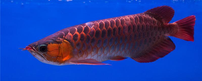 龙鱼水温35度有危险吗,水温太高怎么办
