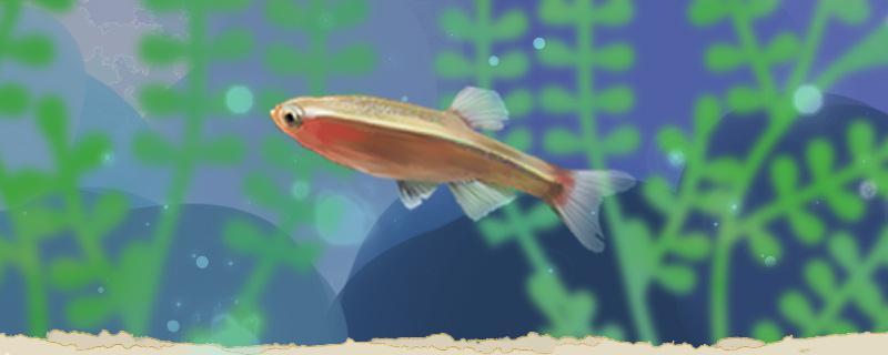 七彩白云金丝鱼好养吗,怎么养