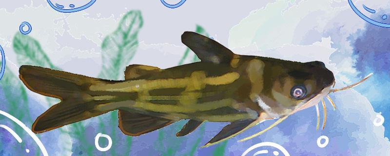 黄刺鱼是什么鱼,生活在哪里