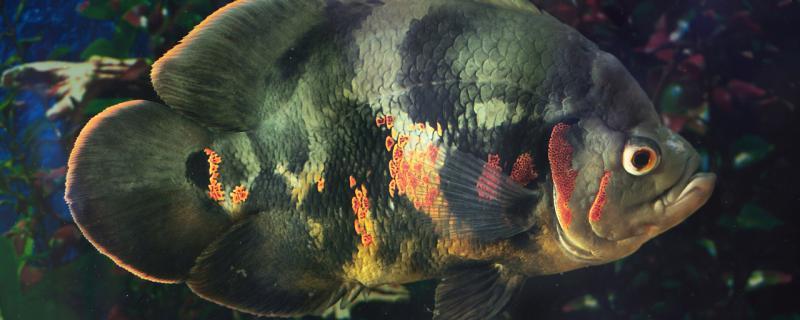 地图鱼眼睛瞎了是什么原因,怎么治疗