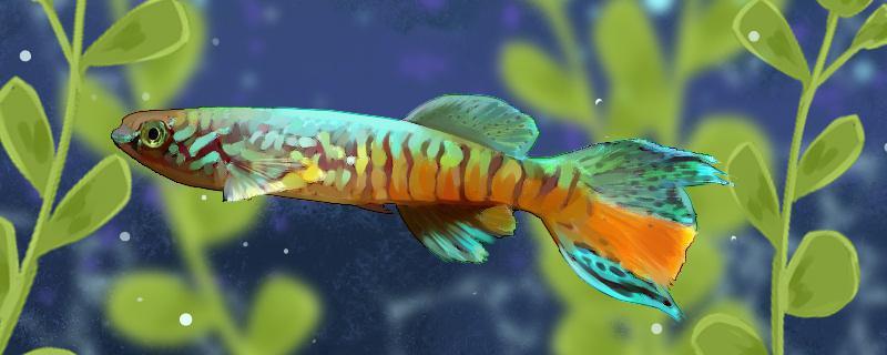 三叉琴尾鳉鱼好养吗,怎么养