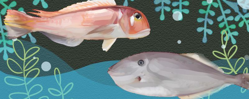 马头鱼和马面鱼一样吗,有什么区别