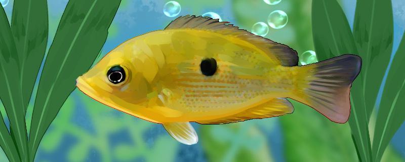 神眼菠萝鱼好养吗,怎么养