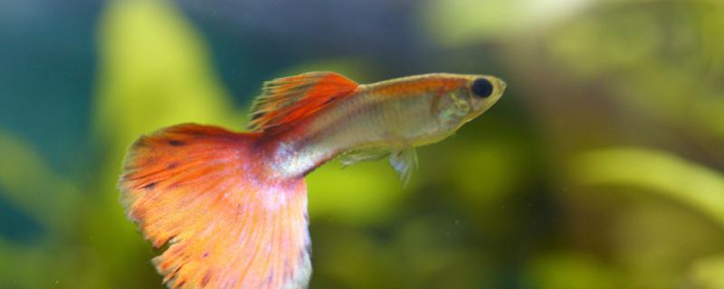 孔雀鱼头部充血是什么原因,应该怎么办