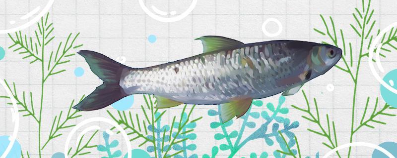 参鱼是什么鱼,能养殖吗