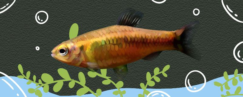 绿皮短笔灯鱼好养吗,怎么养