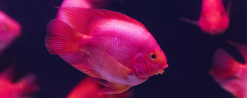 6条鹦鹉鱼几天喂一次,一次喂多少比较好