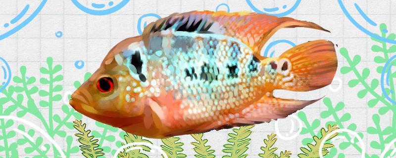 青金虎鱼好养吗,怎么养