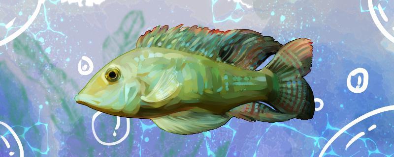 申谷宝石鱼好养吗,怎么养