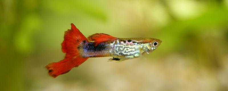 孔雀鱼吃小鱼吗,怎么防止吃小鱼