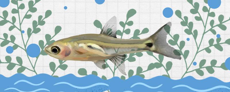 三斑泰波鱼好养吗,怎么养