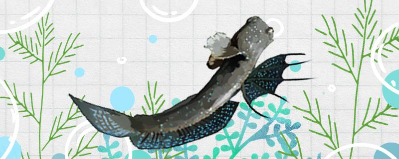 弹涂鱼可以家养吗,怎么在鱼缸内养弹涂鱼