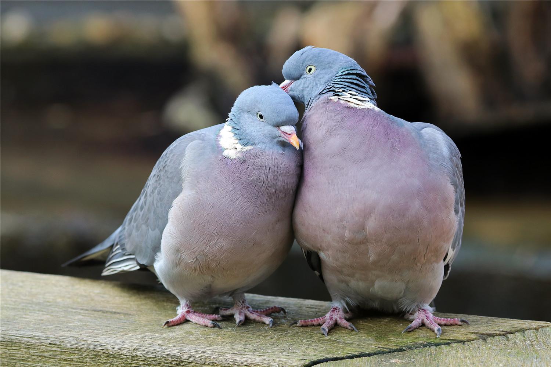 小鸽子不会走路怎么办