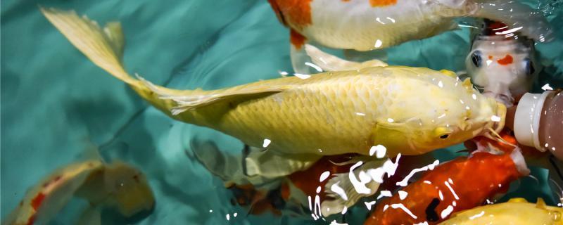鱼缸养锦鲤怎样喂食,可以喂什么食物