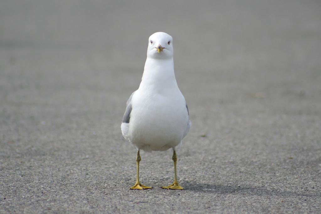 鸽子不回窝怎么办