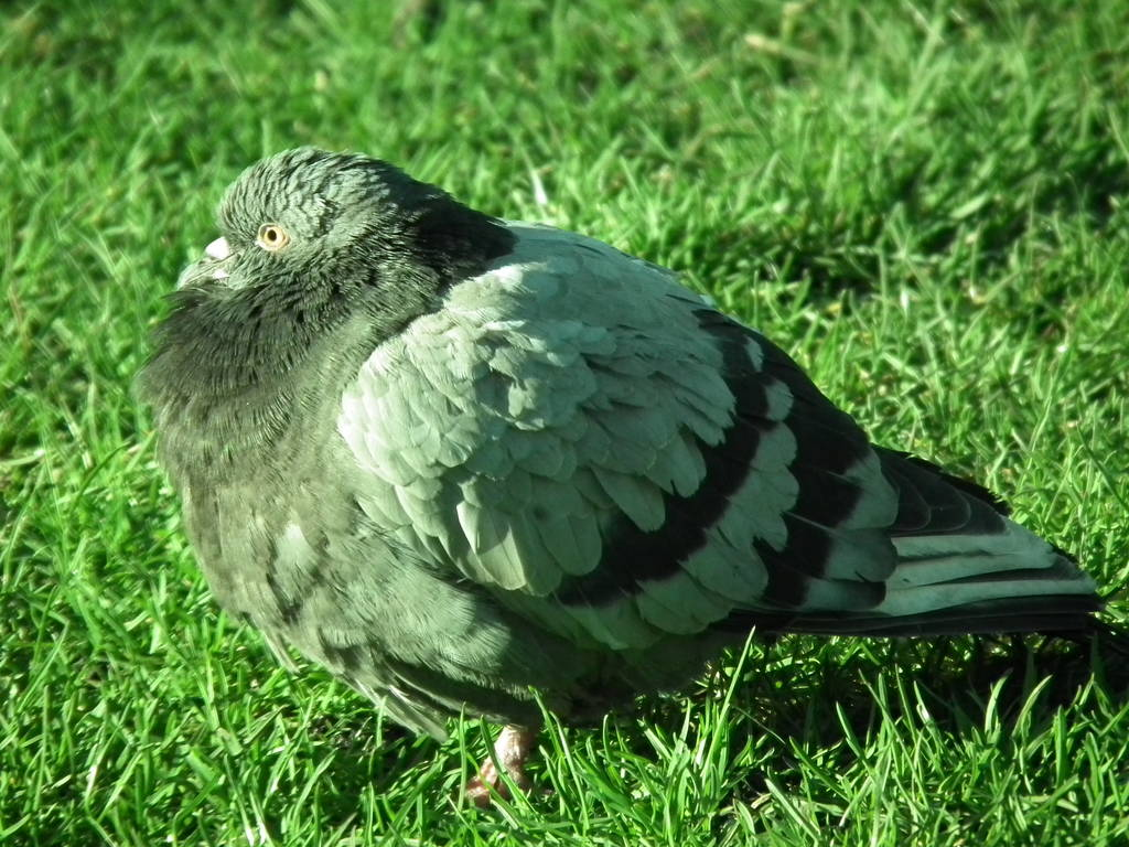 小鸽子不长毛的原因
