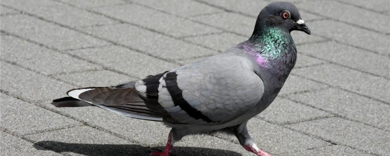 小鸽子不长个怎么回事